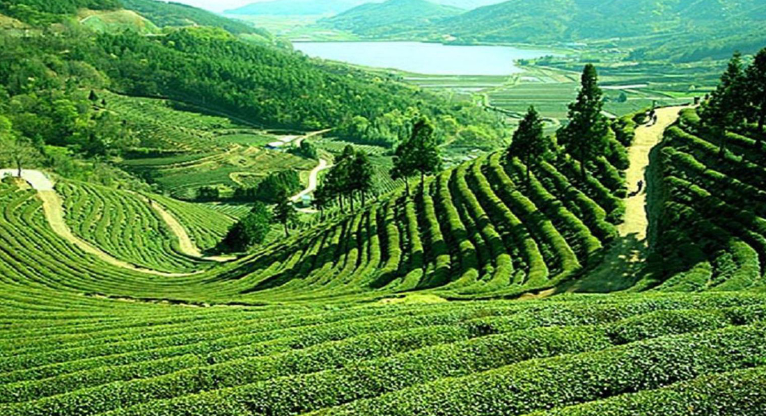 tea estate gateway in north bengal, tea estates in North Bengal, best luxury tea resort in india,