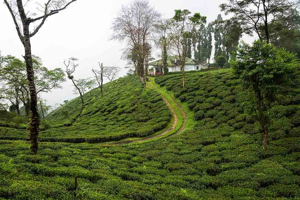 tea estate vacation in india, luxury tea hotels in darjeeling, tea estates in darjeeling,