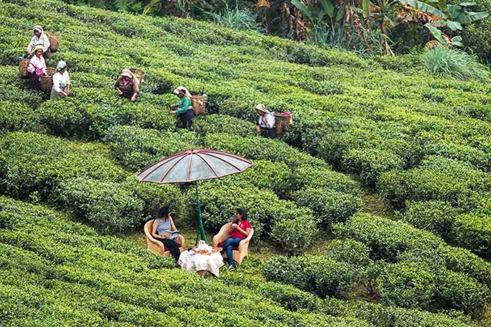 tea estates in North Bengal, best luxury tea resort in india, tea estates in darjeeling