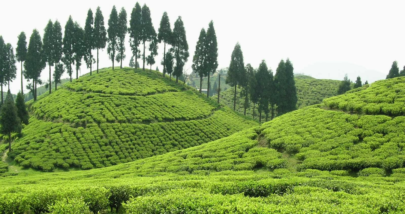 tea estate accommodation north bengal, hotels in darjeeling