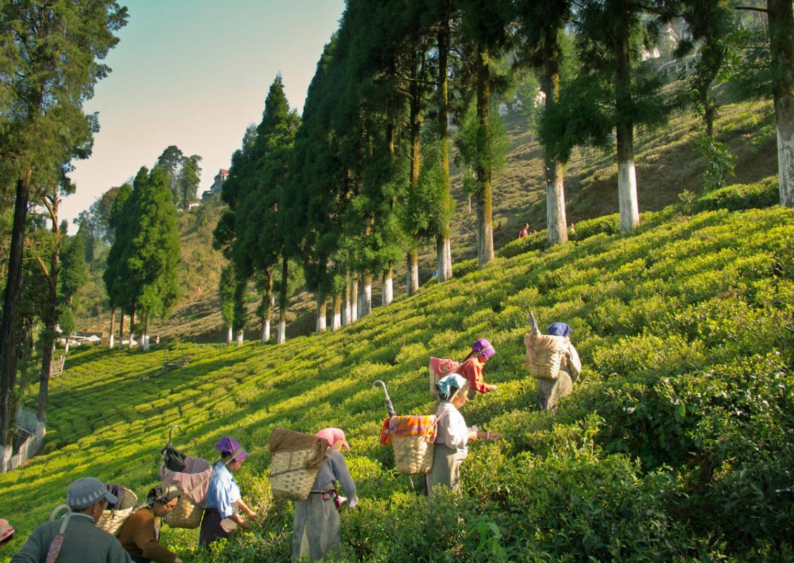 tea estate gateway in north bengal, tea estates in North Bengal, best luxury tea resort in india